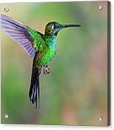 Hummingbird , Green-crowned Brilliant Acrylic Print