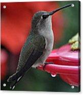 Hummingbird Anna's On Perch Acrylic Print