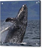 Humpback Whale Breaching Prince William Acrylic Print