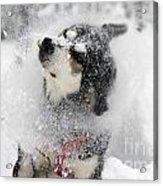 Husky Dogs Pull A Sledge  Acrylic Print