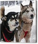 Husky Dogs Pull A Sledge  Acrylic Print by Lilach Weiss