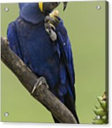 Hyacinth Macaw Eating Palm Nut Acrylic Print