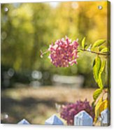 Hydrangeas In The Autumn Sun Acrylic Print