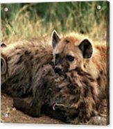 Hyene Tachetee Crocuta Crocuta Acrylic Print