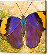 Indian Leaf Butterfly Acrylic Print
