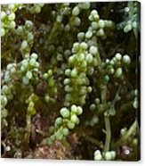 Invasive Seaweed Acrylic Print by Science Photo Library