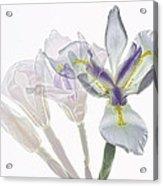 Iris Evolution Acrylic Print