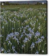 Iris Field Acrylic Print