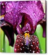 Iris Tongue Acrylic Print