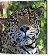 Jaguar 2 Acrylic Print
