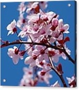 Japanese Cherry Tree Acrylic Print