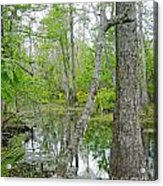 Jean Lafitte Swamp Acrylic Print