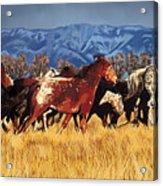 Joe's Horses Acrylic Print