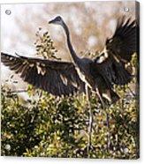 Juvenile Blue Heron Acrylic Print