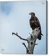 Juvenile Eagle Acrylic Print