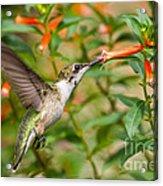 Juvenile Male Ruby-throated Hummingbird Acrylic Print