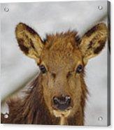 Juvenile Pa. Elk Acrylic Print