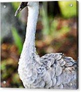 Juvenile Sandhill Crane Grus Canadensis Pratensis II Usa Acrylic Print