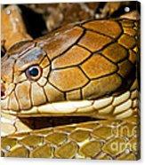 King Cobra Acrylic Print