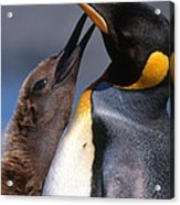 King Penguin With Chick Acrylic Print by Art Wolfe