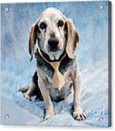 Kippy Beagle Senior Acrylic Print