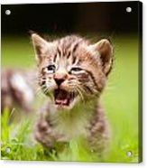 Kitty In Grass Acrylic Print