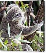 Koala Acrylic Print