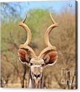 Kudu Bull Spiral Acrylic Print
