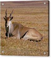 Eland Antelope In Kenya Acrylic Print