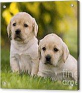 Labrador Puppies Acrylic Print