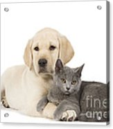 Labrador Puppy With Chartreux Kitten Acrylic Print