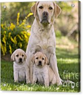 Labrador With Two Puppies Acrylic Print