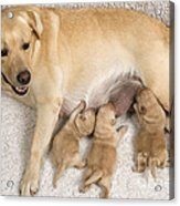Labrador With Young Puppies Acrylic Print
