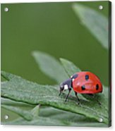 Lady Bird Acrylic Print