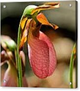 Lady Slippers At Moore State Park 2 Acrylic Print