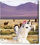Lama On The Laguna Colorada In Bolivia Acrylic Print