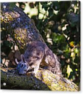 1 Large Grey Squrriel Acrylic Print