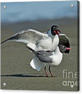 Laughing Gulls Acrylic Print