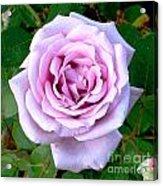 Lavendar Rose Acrylic Print
