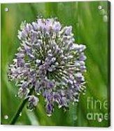 Lavender Globe Lily Acrylic Print