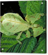 Leaf Insect Acrylic Print