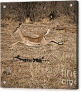 Leaping Impala Acrylic Print