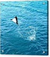 Leaping Stingray Acrylic Print