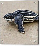 Leatherback Sea Turtle Hatchling Amelia Island Florida Acrylic Print