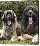 Leonberger Dogs Acrylic Print