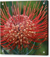 Leucospermum - Pincushion Protea - Tropical Sunburst Protea Flower Hawaii Acrylic Print