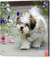 Lhasa Apso Puppy Acrylic Print