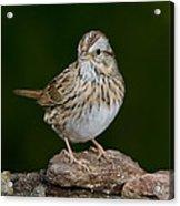 Lincoln Sparrow Acrylic Print