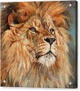 Lion Acrylic Print by David Stribbling