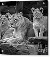 Lioness And Cubs Acrylic Print